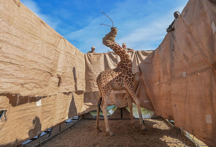 Rescue of Giraffes from Flooding Island © Ami Vitale, Stati Uniti (Natura, 1° premio)